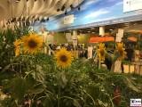 Halle 32a Sonnenblumen im Winter Internationale Gruene Woche Messe Berlin Berichterstatter
