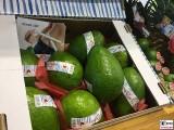 Riesen Avocado Frucht Fruit Logistica Messe Gelaende Berlin unter dem Funkturm Berichterstatter