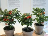 Tomatenbaum fuer die Küche FRUIT LOGISITICA Messe Berlin Funkturm